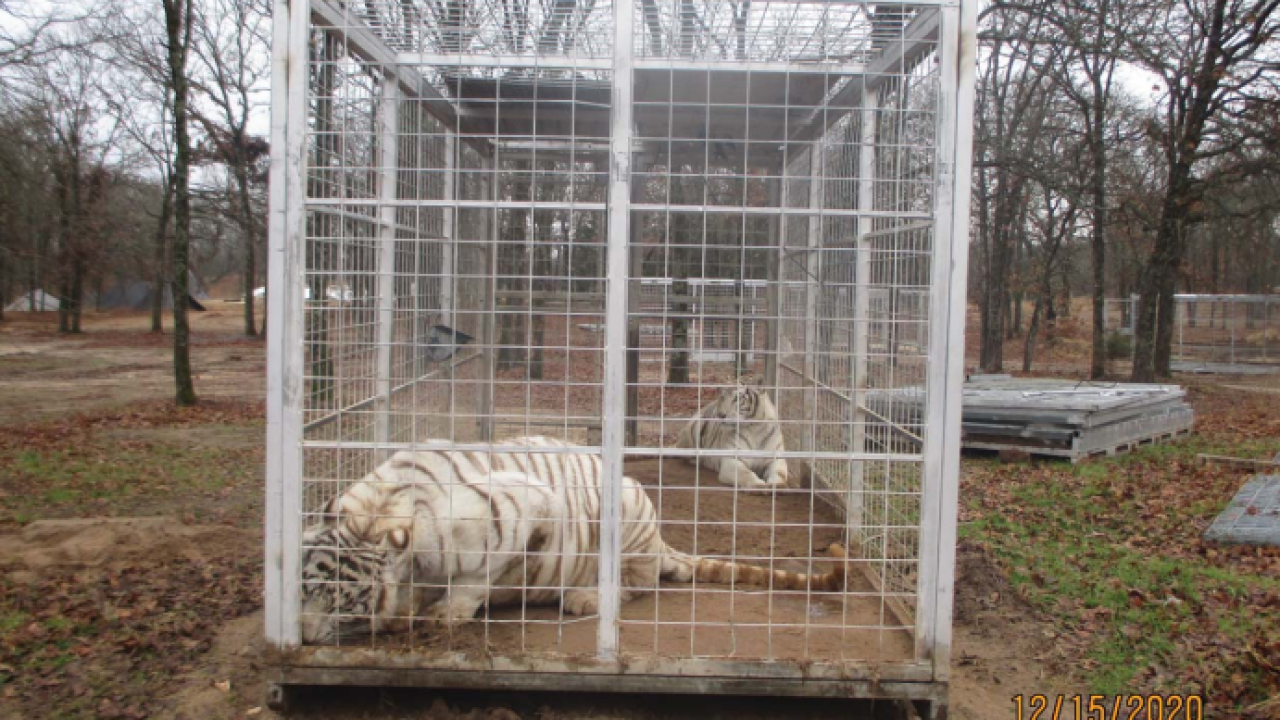 USDA inspection photo white tiger 1.PNG