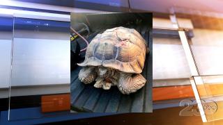 Highway Pete Tortoise