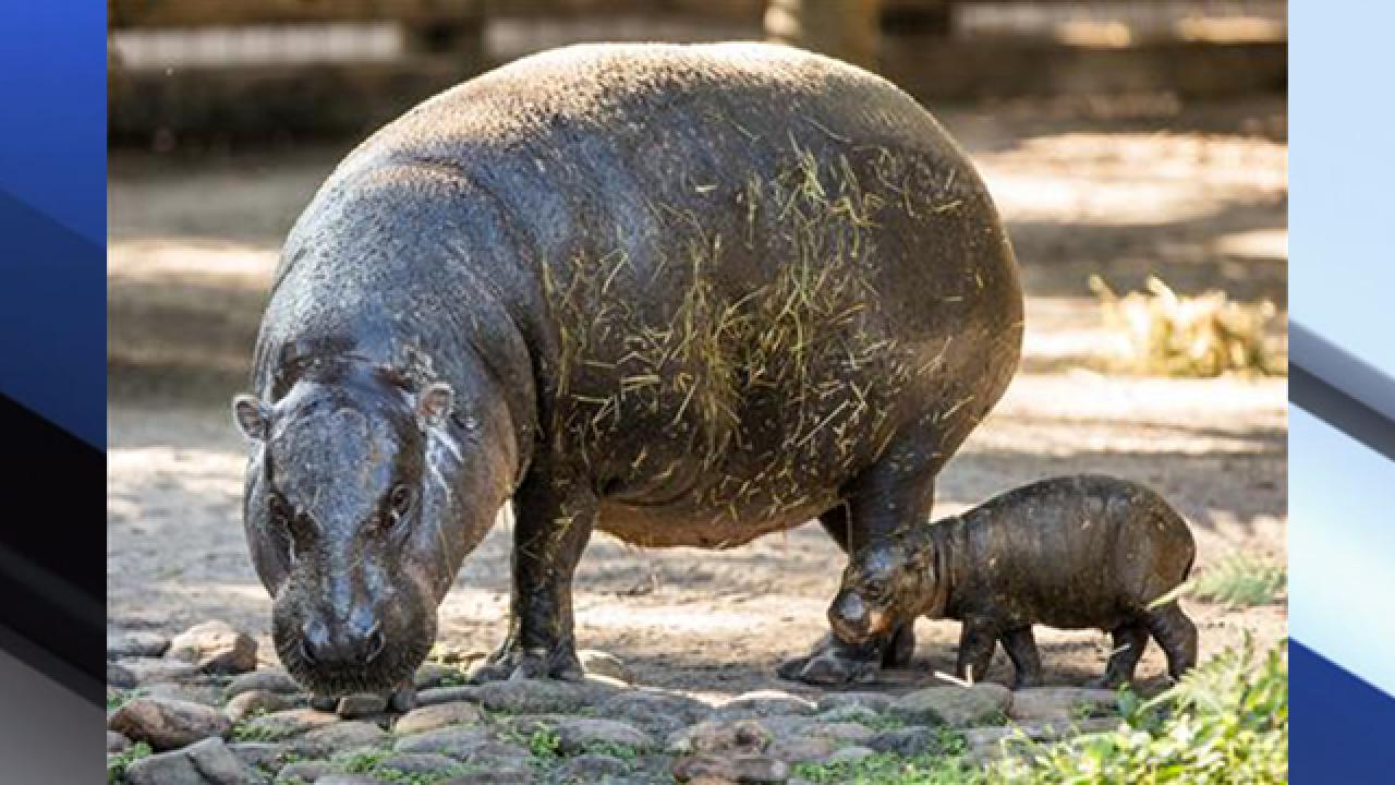 Baby Pygmy Hippo born at Lowry Park Zoo