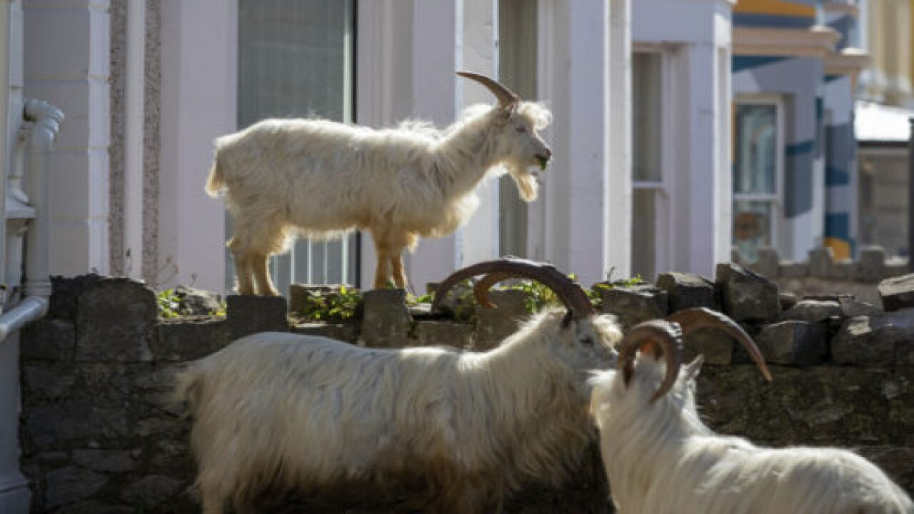 Wild Goats Took Over The Streets Of This Town During The Coronavirus Lockdown
