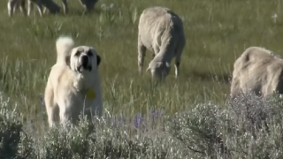 Montana Ag Network: May 15th Report – Herd dog photo contest, wildfire legislation