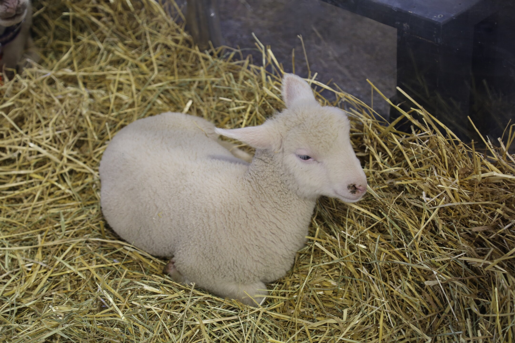 The baby animals of State Fair