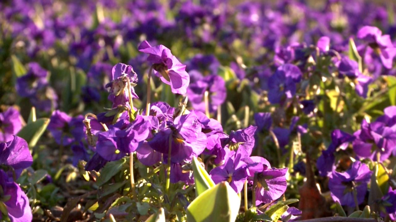 Spring has sprung at Cheekwood Gardens