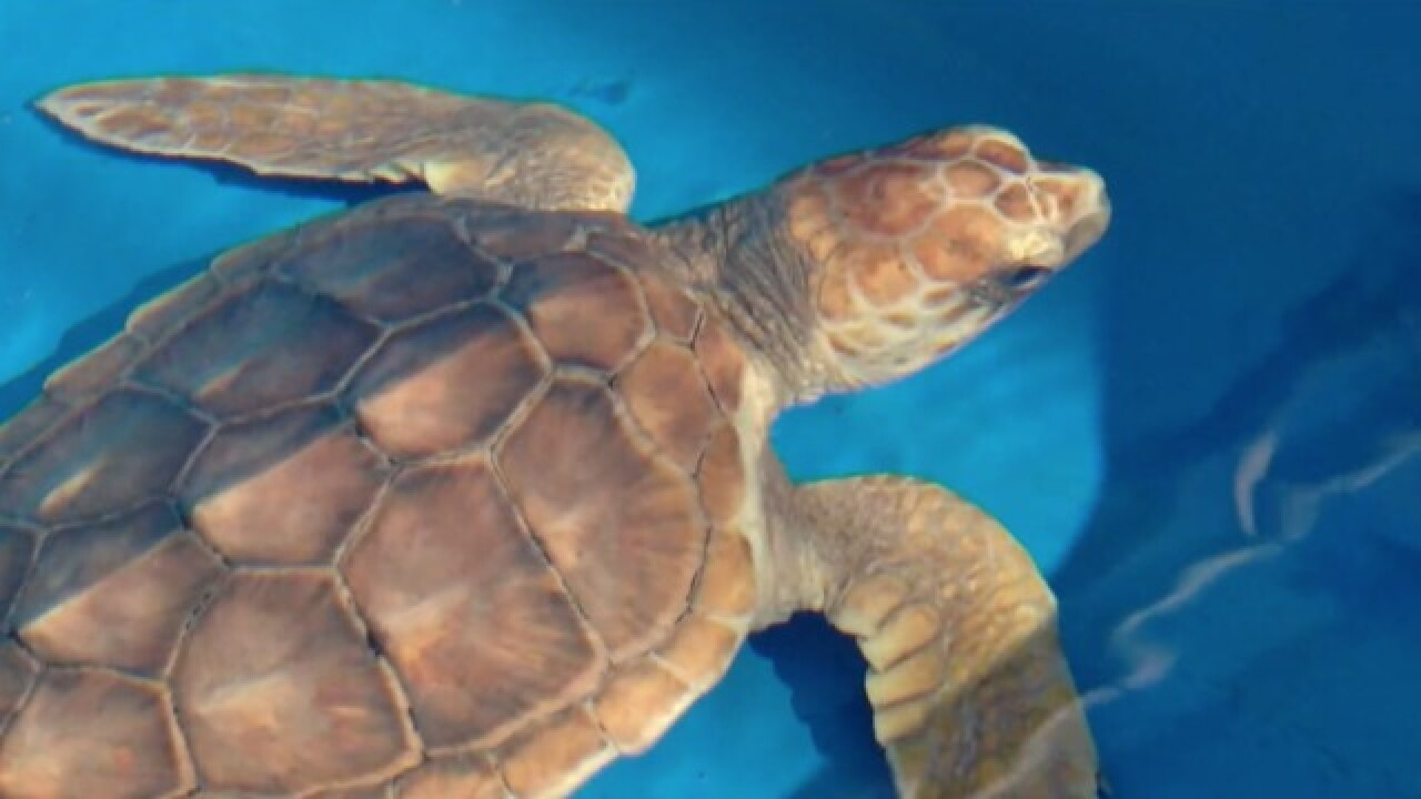 Study: Plastics found in guts of sea turtles