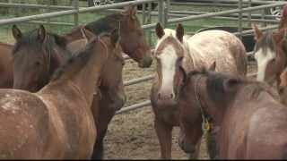 BLM hopes adopted wild horses, burros can go home soon