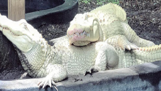 19 albino alligator eggs are expected to hatch at Florida animal park.png