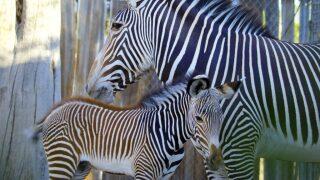 Reid Park Zebra Anna