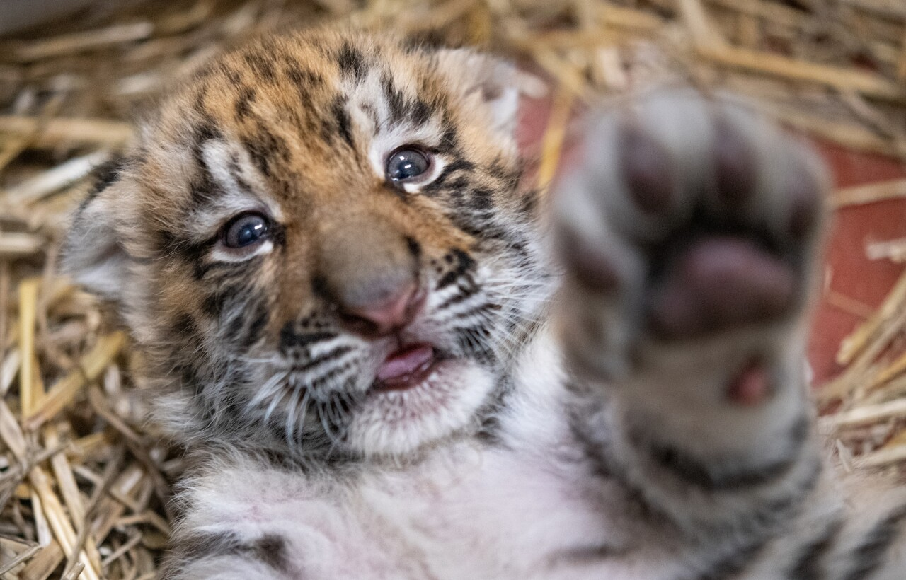Baby Tigers 2021