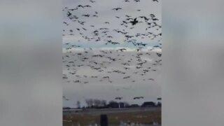 Montana Sights: Snow Geese Take Flight