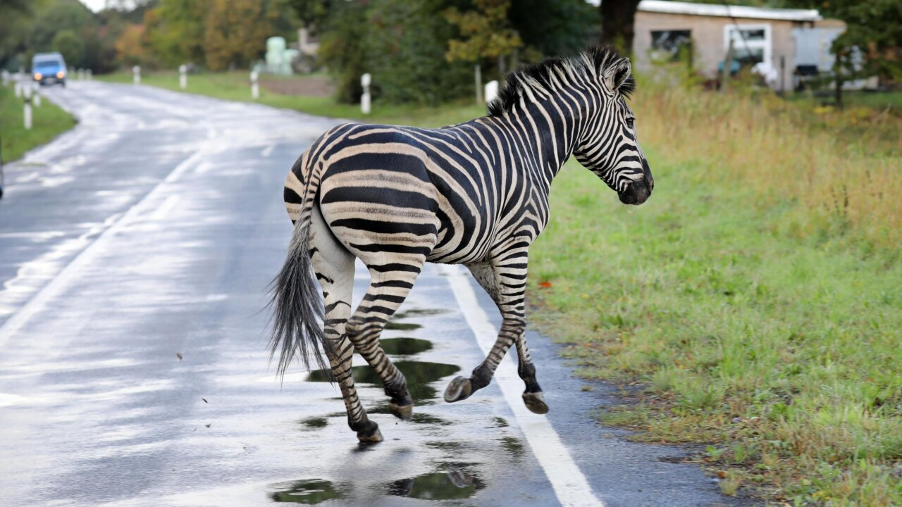 A zebra escaped from the circus in Germany and was shot dead on a highway