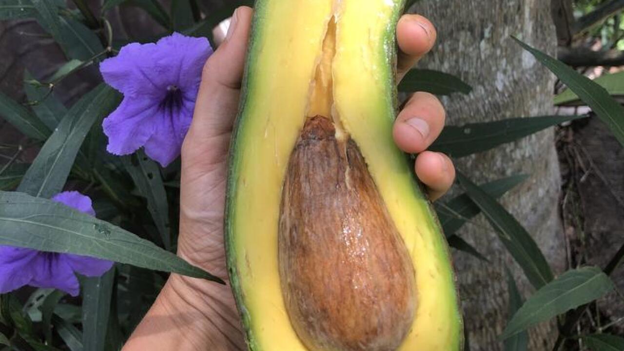 miami fruits long neck avocado_2.jpg