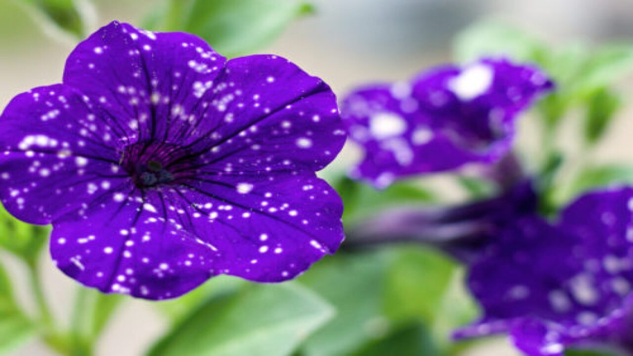 These Night Sky Petunias Will Fill Your Garden With Stars