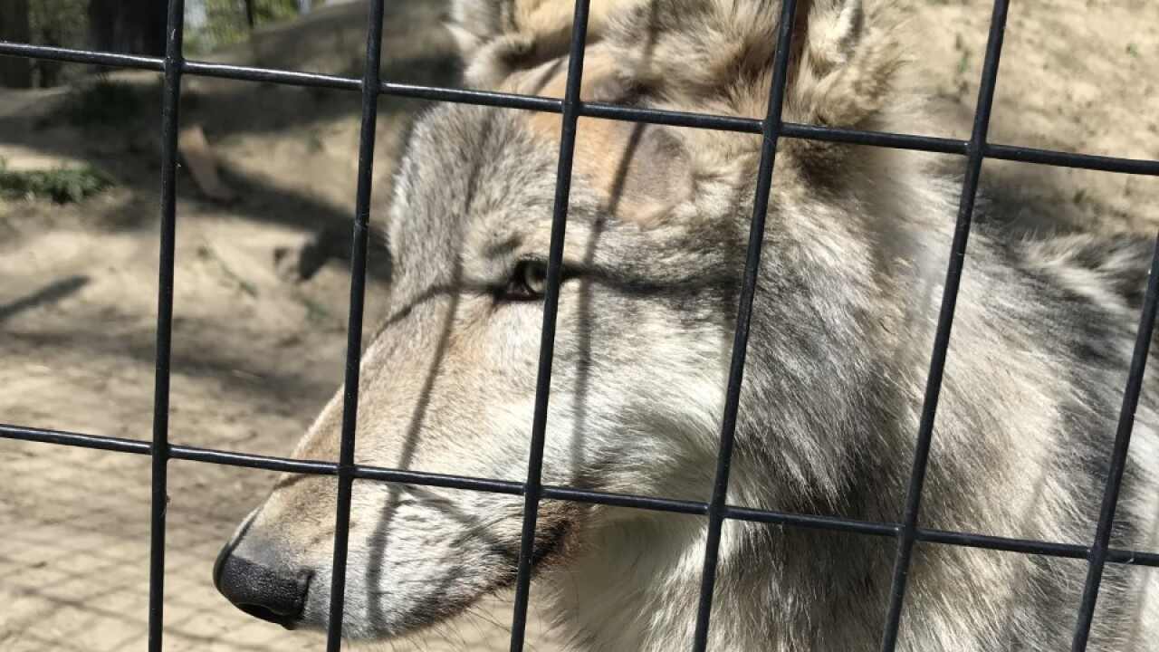 Simpson the Gray Wolf