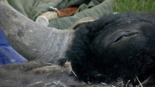 """""""Buffalo Breakdown"""" at Backcountry Hunters & Anglers annual gathering"""