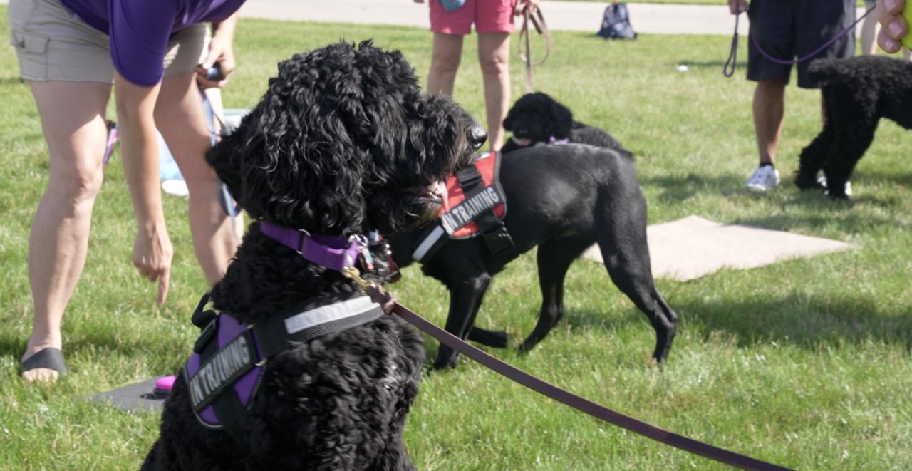 Training service dogs