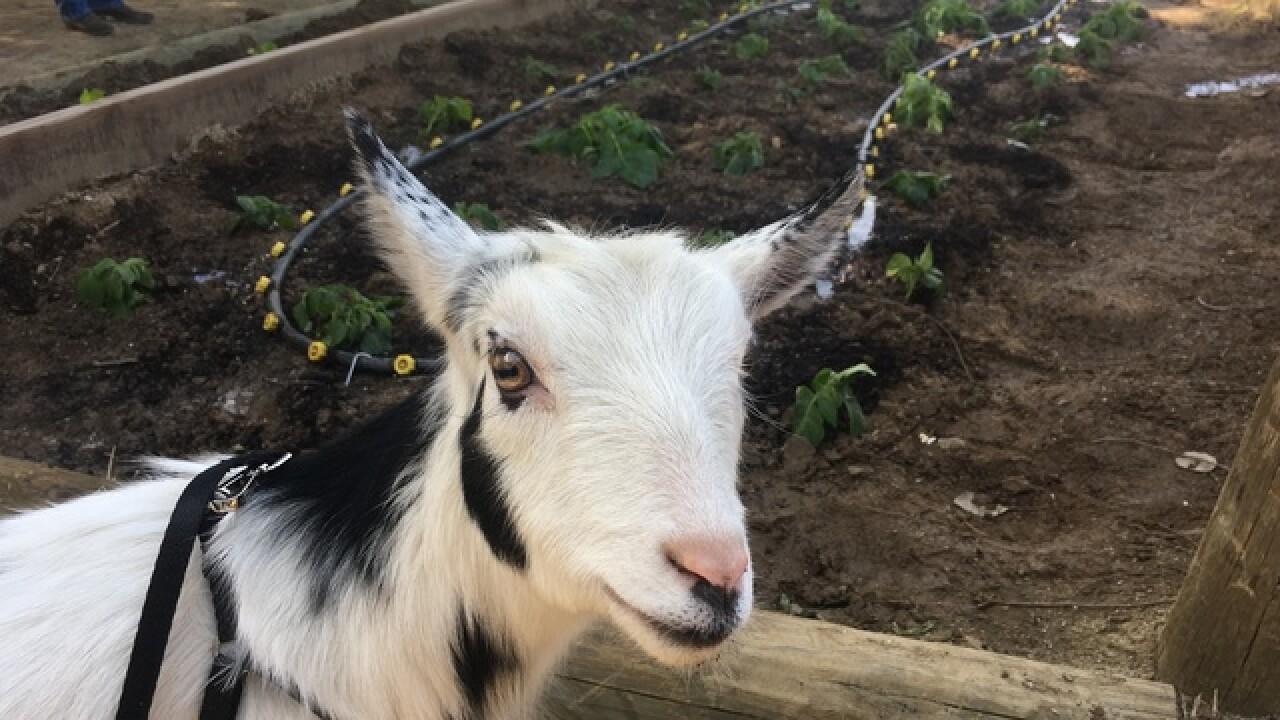 California Goat Yoga
