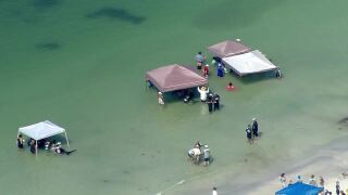 Crews working to free five beached whales in Redington Beach