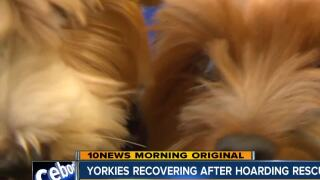 Yorkies recovering after hoarding rescue