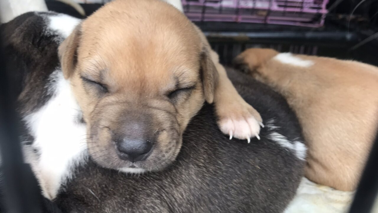 128 dogs rescued from Puerto Rico by Big Dog Ranch Rescue land at Palm Beach International Airport.