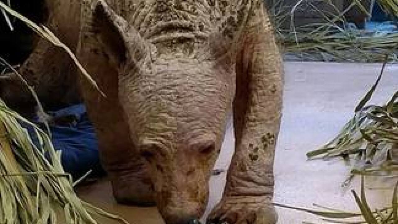 Ramona animal center caring for bare black bear