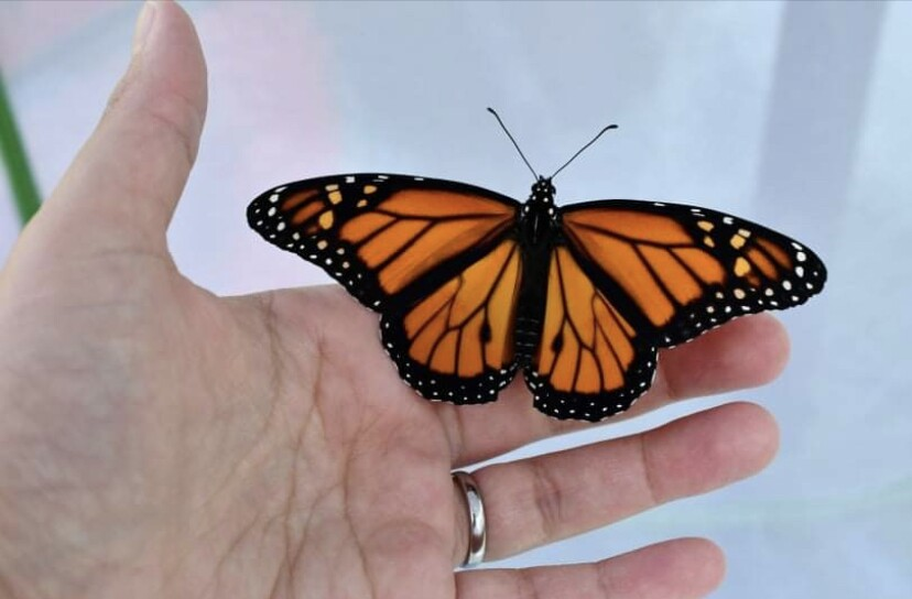 A closer look at a Monarch Butterfly