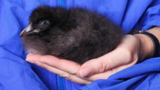 A Baby Puffin Named Macaroni Just Hatched And Will Join Siblings Ravioli And Gnocchi