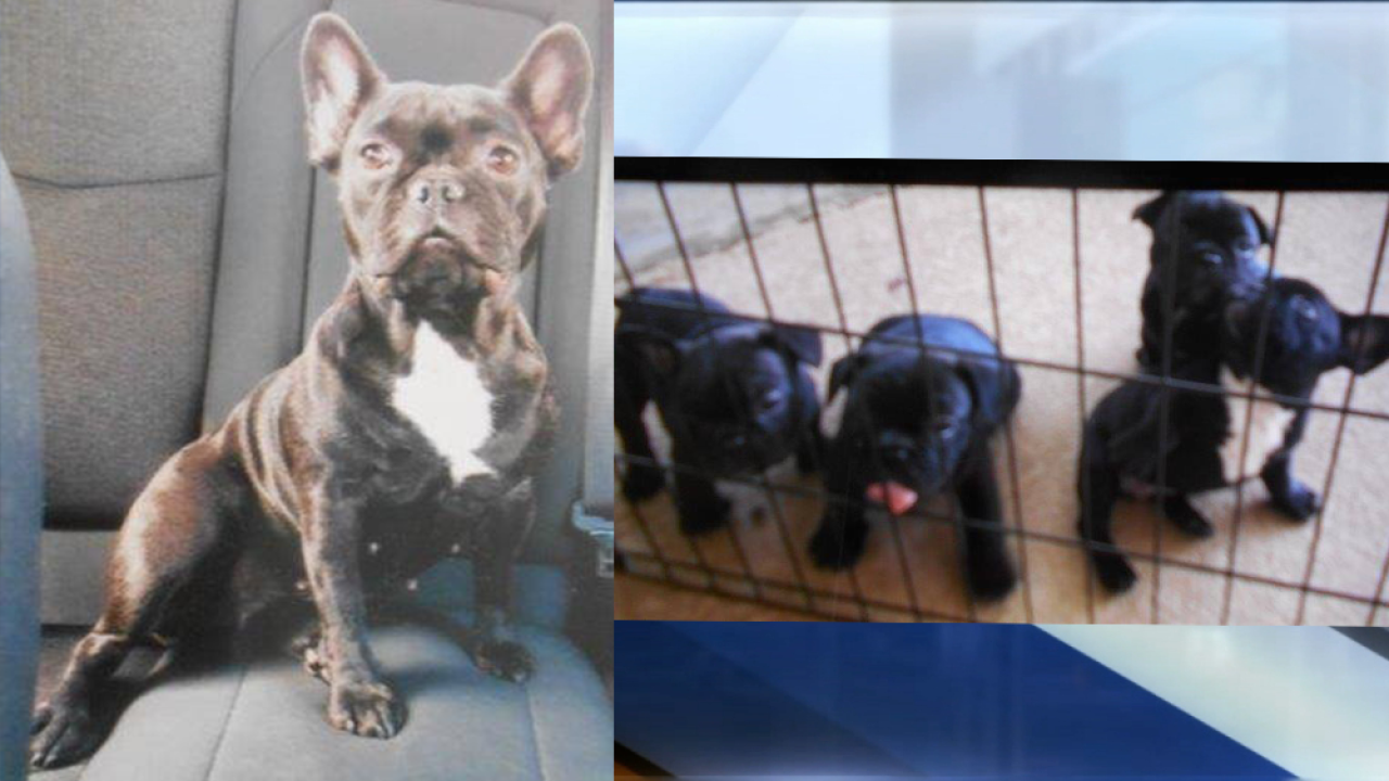 French Bulldog and her puppies stolen from Winter Haven home