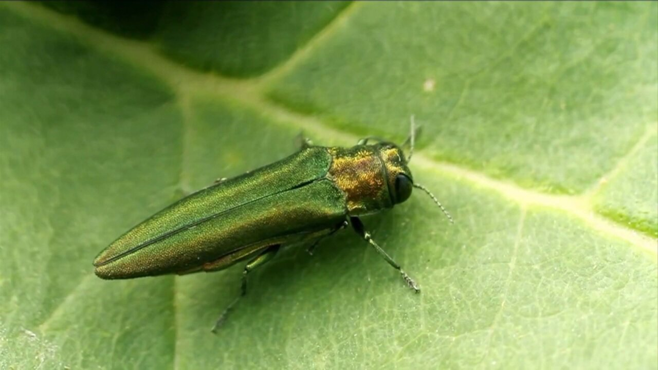 Homeowners urged to inspect ash trees for 'destructive' emerald ash borer