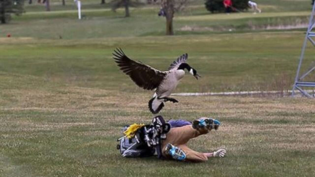 High school golf player attacked by goose
