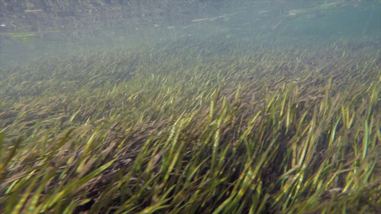 crystal river seagrass2.png