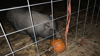 Pumpkins for pigs.jpg