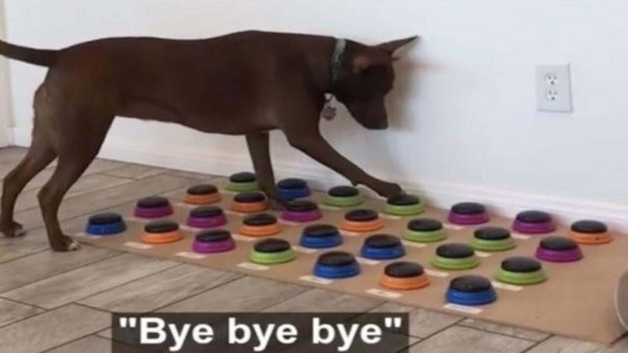 This Dog Is Learning To Talk With A Custom Soundboard And Already Knows 29 Words