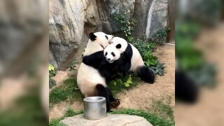 Pandas finally mate after 10 years, but only after Hong Kong zoo closes due to COVID-19