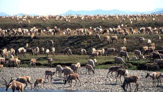 Trump admin. plans oil, gas lease sale in Alaska's Arctic refuge; more banks won't finance it