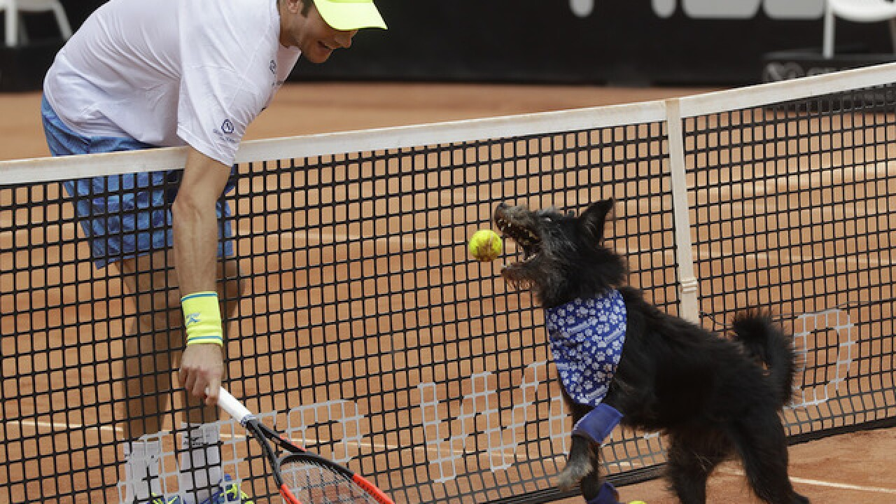 Brazil Open uses adoptable shelter dogs as tennis ball retrievers
