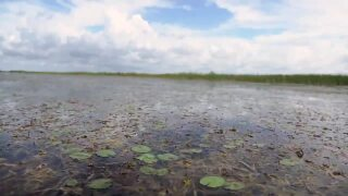 lillypads and blades of grass in water at Lake Okeechobee, May 2021