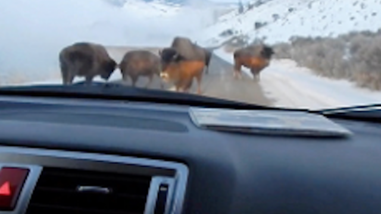 Dad hilariously panics over bison blockade