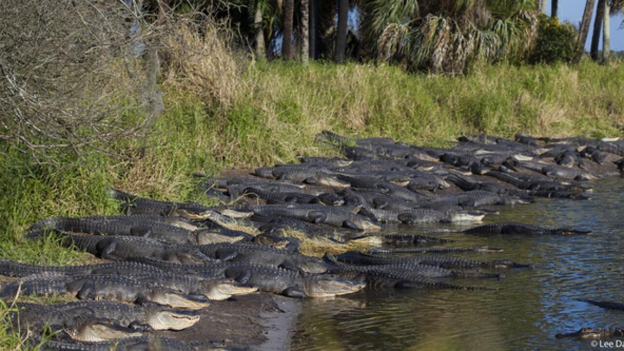 Gators take over sinkhole at Myakka River Park