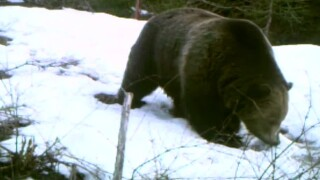 Being Bear Aware: Yellowstone biologist talks bear safety