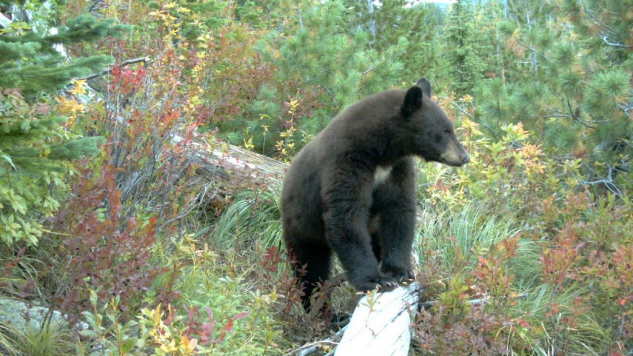 black_bear_with_huckleberries.jpg