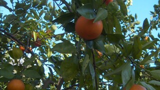 Florida Oranges on a branch.jpg
