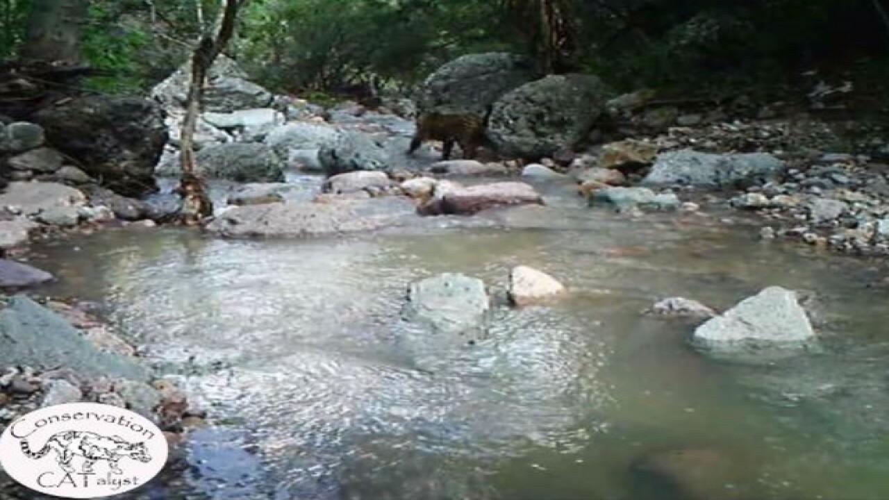 WATCH: Only known US jaguar roaming AZ mountains