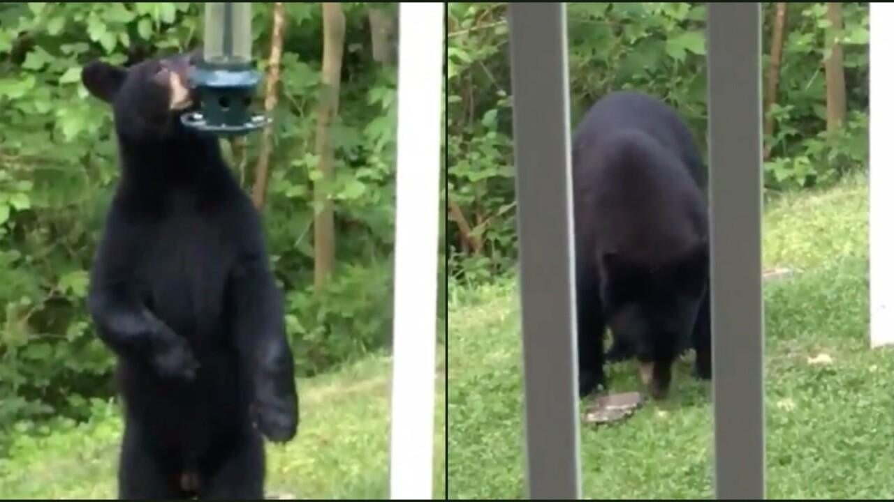 Bear spotted eating from bird feeders in Hanover Countyneighborhoods