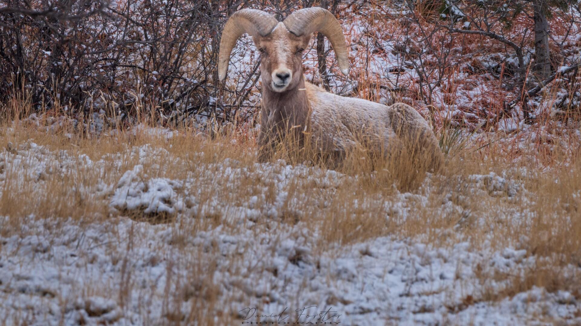 Rams Daniel Forster 3.jpg