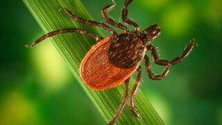 Rare 'Lone Star Tick' spotted in northern Wisconsin