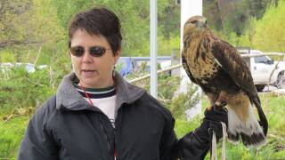 Hawk that escaped in wind storms has been found