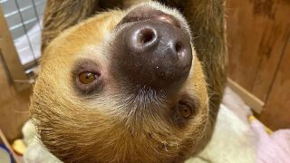 ZooMontana's sloth needs a name