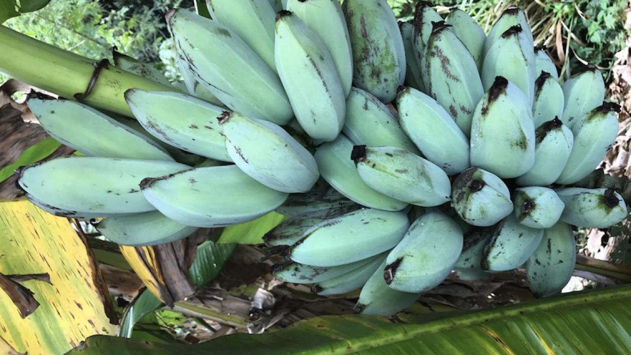 PLANET ARIZONA: Blue bananas exist and they taste like vanilla ice cream
