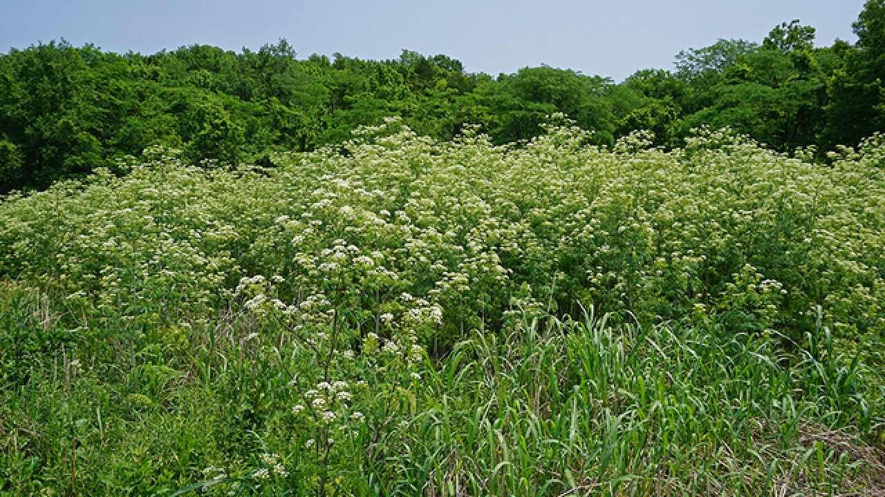 Two invasive plants in Ohio can 'kill you or make you wish you were dead'