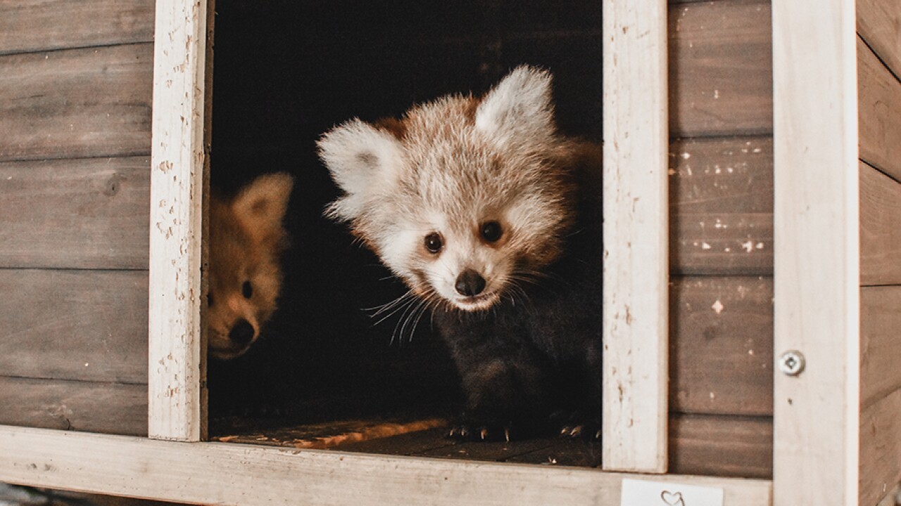 Virginia Zoo announces names of the Red Panda triplets